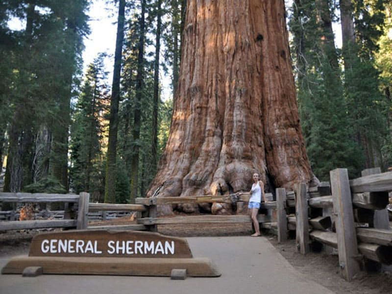 Дерево Генерала Шермана